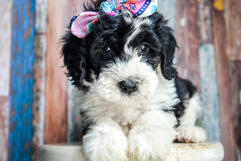 Old English Sheepdog Poodle cross