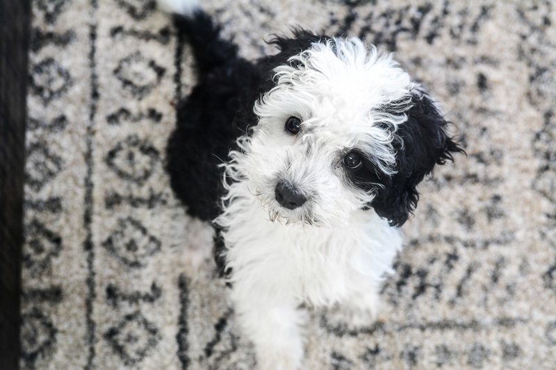 Mini Sheepadoodle puppy from Once Upon A Doodle