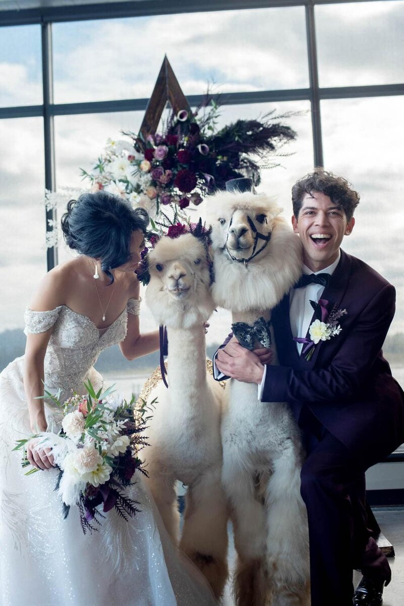 Happy bride and groom laugh with the wedding alpacas from classy camelids
