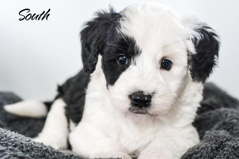 Mini Sheepadoodle Puppies