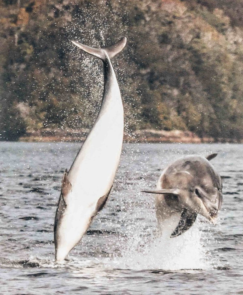 Dolphins leaping out of the water, photographed by Warren in Fiordland, New Zealand