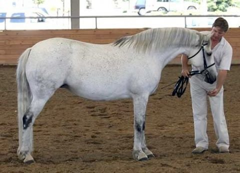 Elite Connemara Pony Mare Glenormiston Amelia,  1998 Purebred Connemara Pony Mare