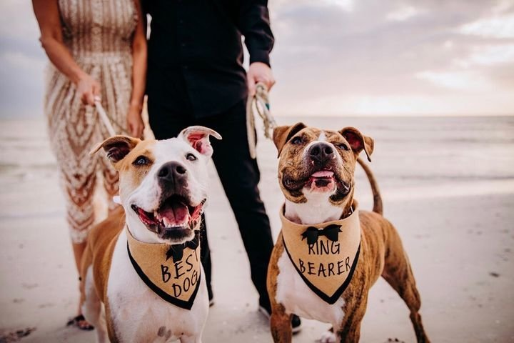 Pit_Bulls_in_wedding_Furry_Ventures