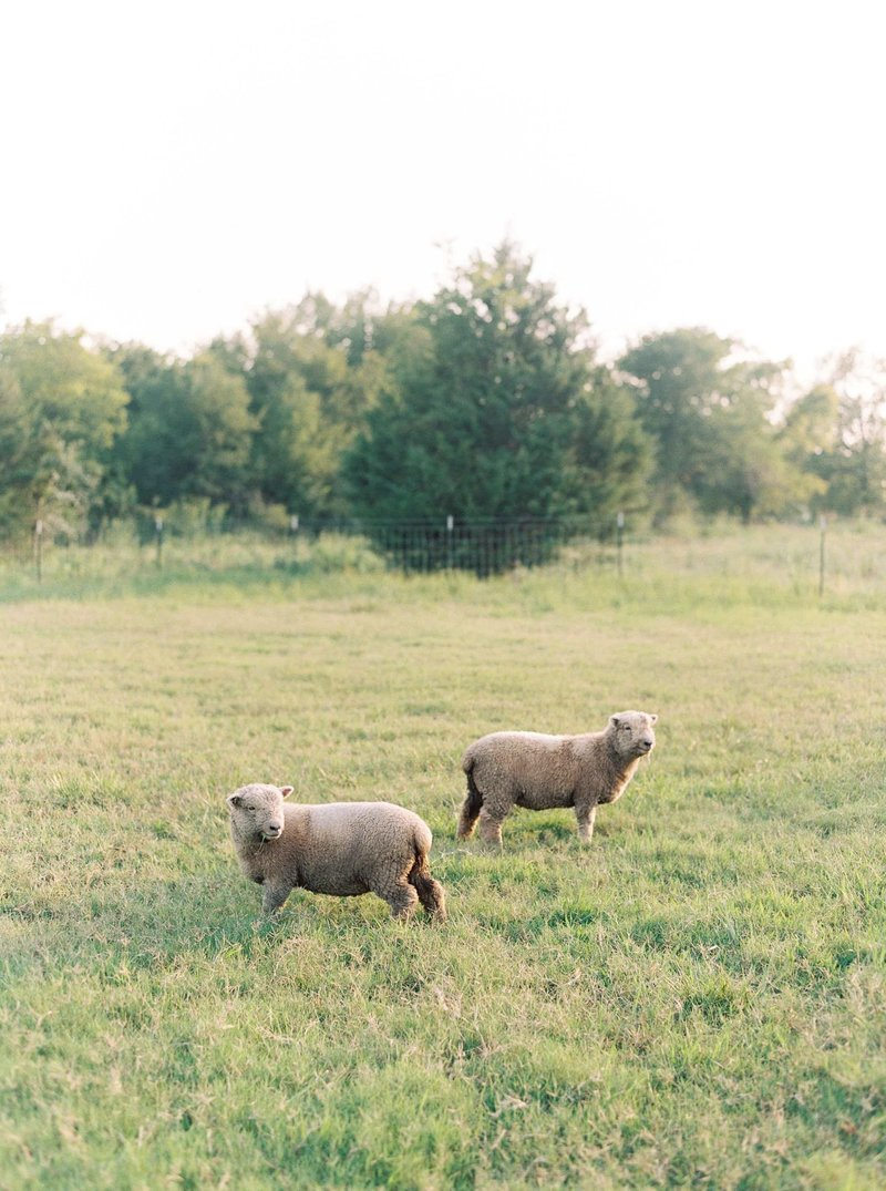 Babydoll Sheep at Everly & Rain Co. — an Oklahoma Ranch & Lifestyle Blog