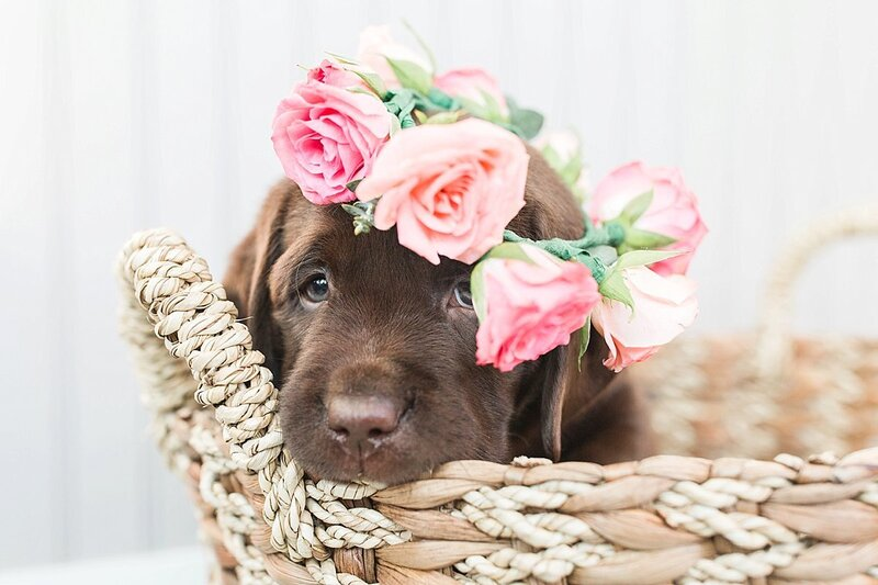 chocolate lab puppy sitting in a basket wearing a flower crown
