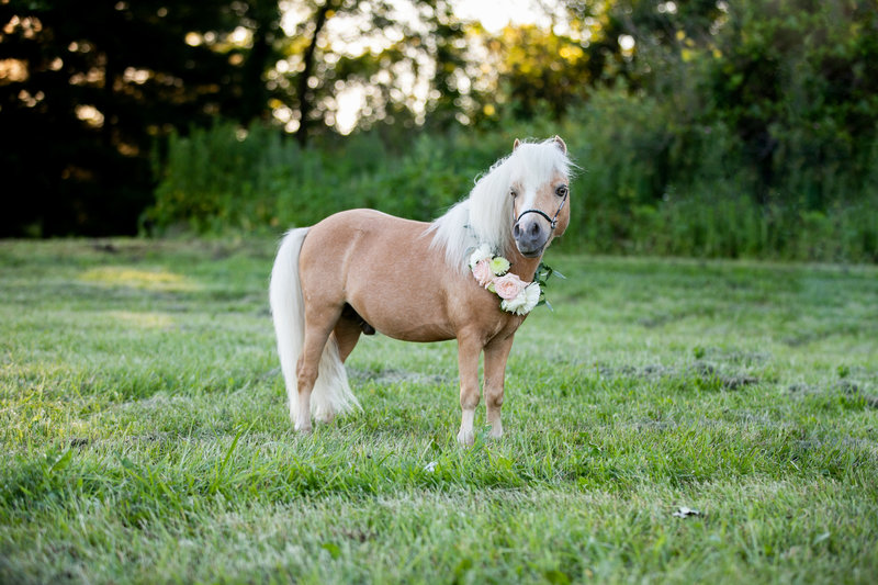 Miniature pony with floral garland around neck standing in a field at Providence Vineyard