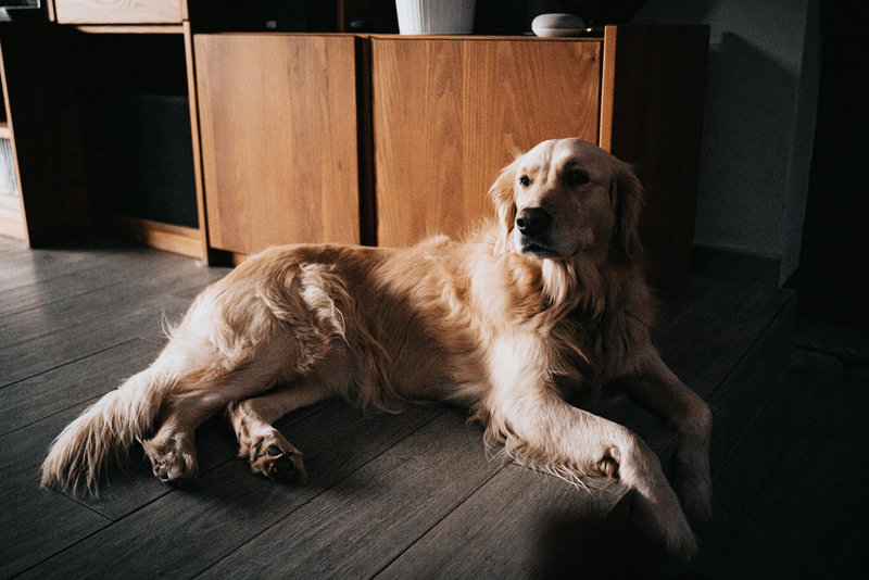 golden retriever laying by the fire